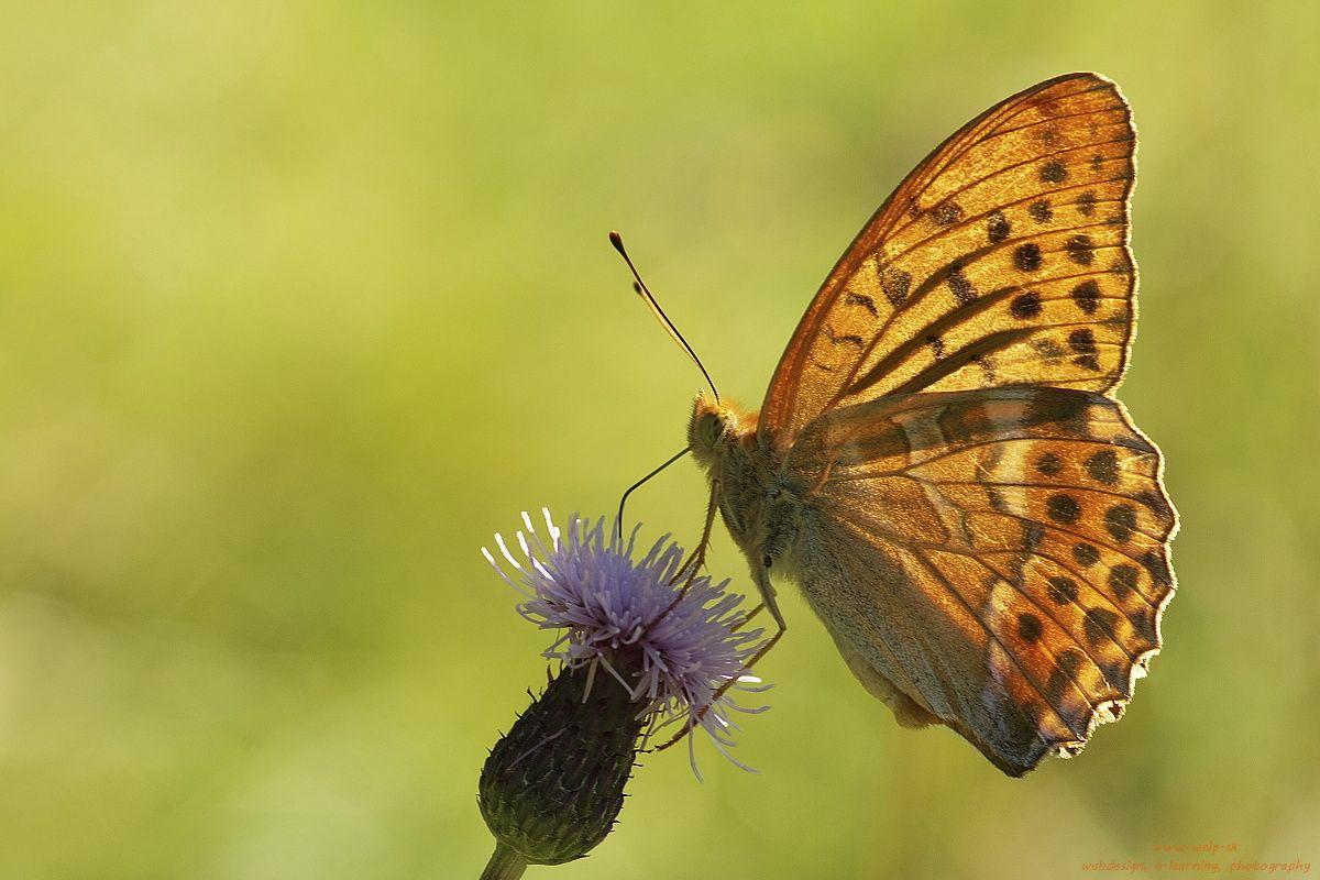 Makro fotografia prírody - motýľ