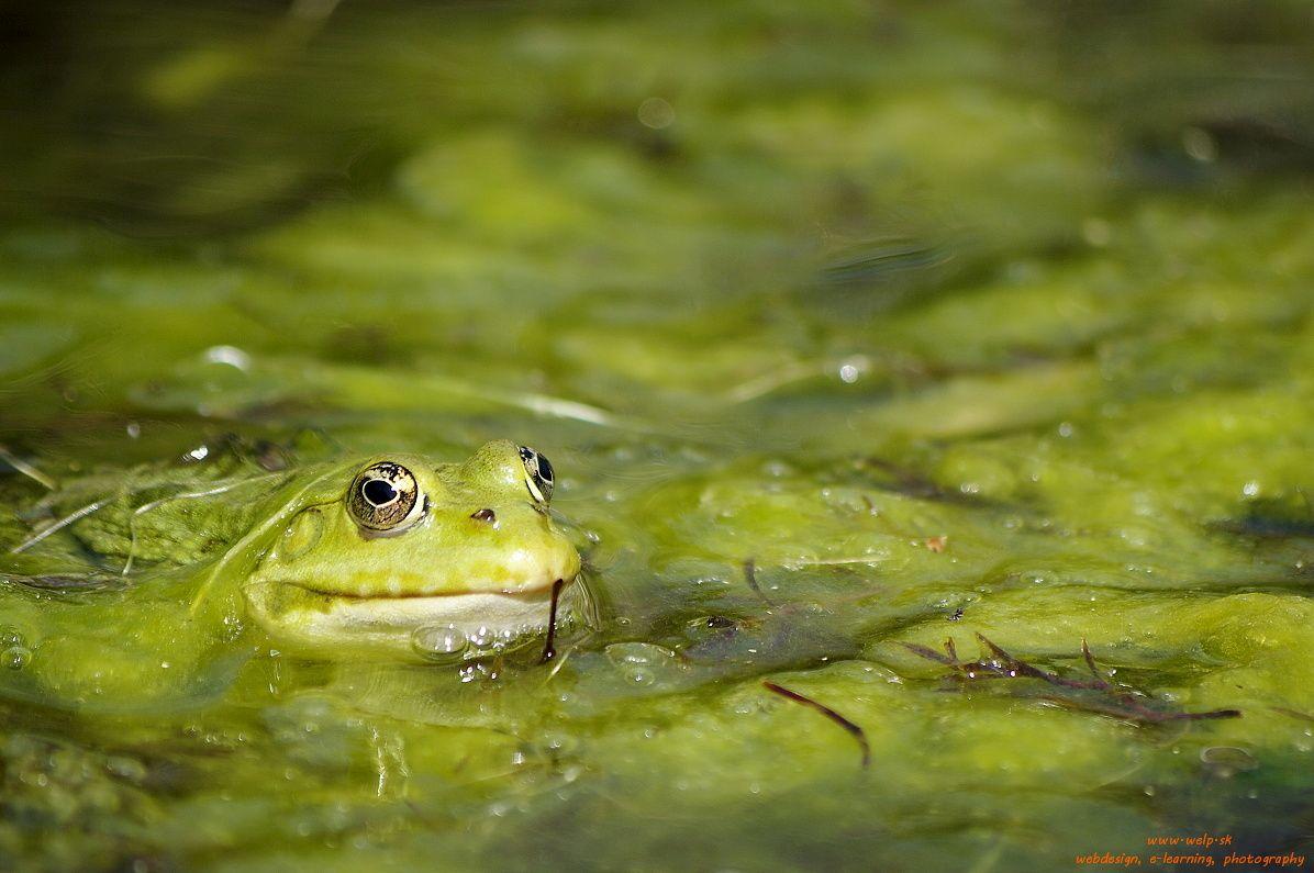 Fotografia prírody - žaba
