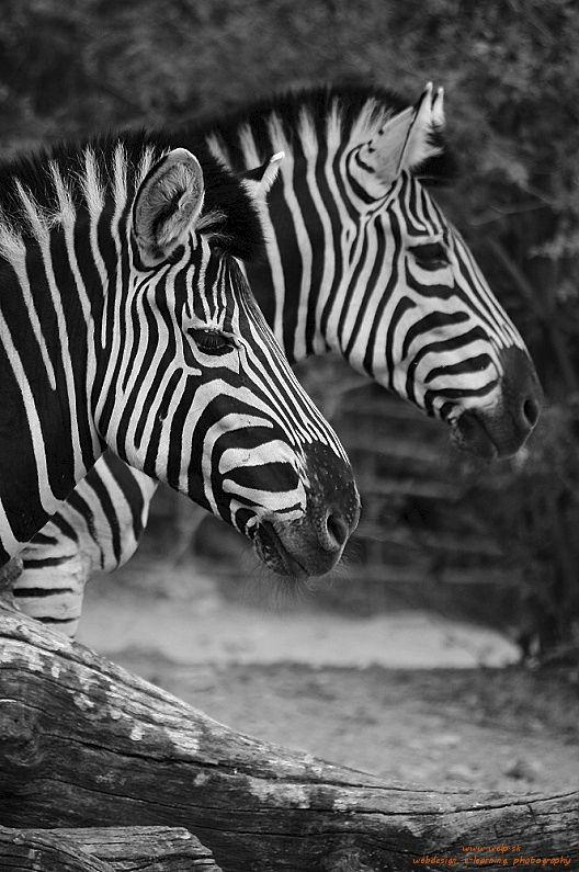 Fotografia živočíchov - zebry