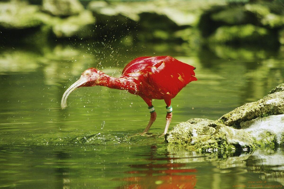 Fotografia prírody - ibis