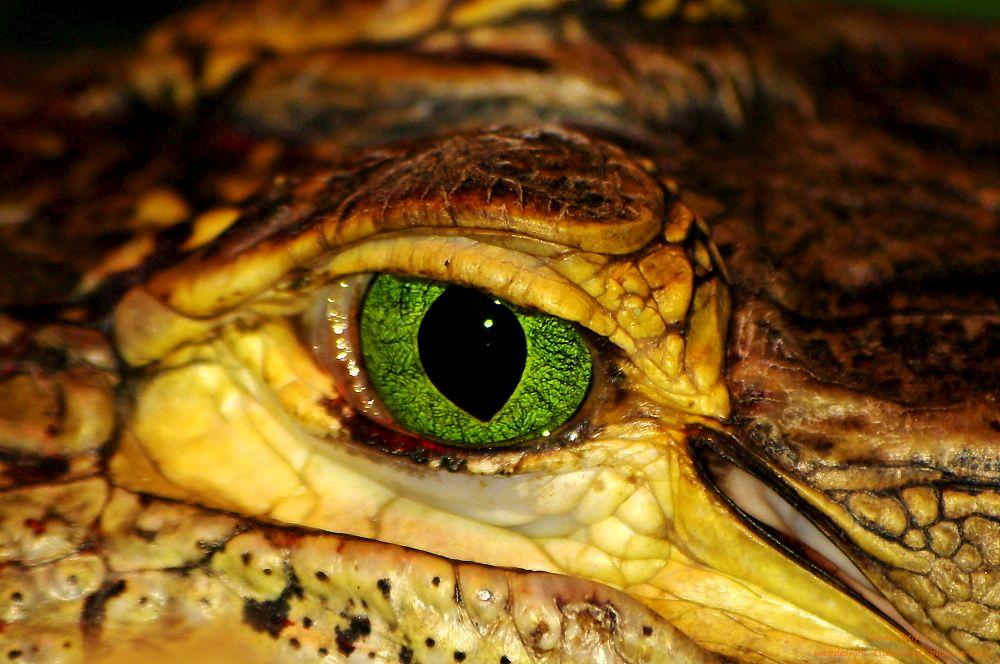 Fotografia prírody - oko krokodíla